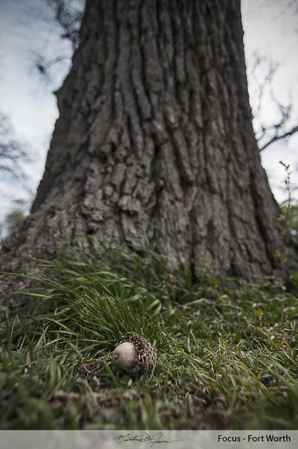 Acorn and tree