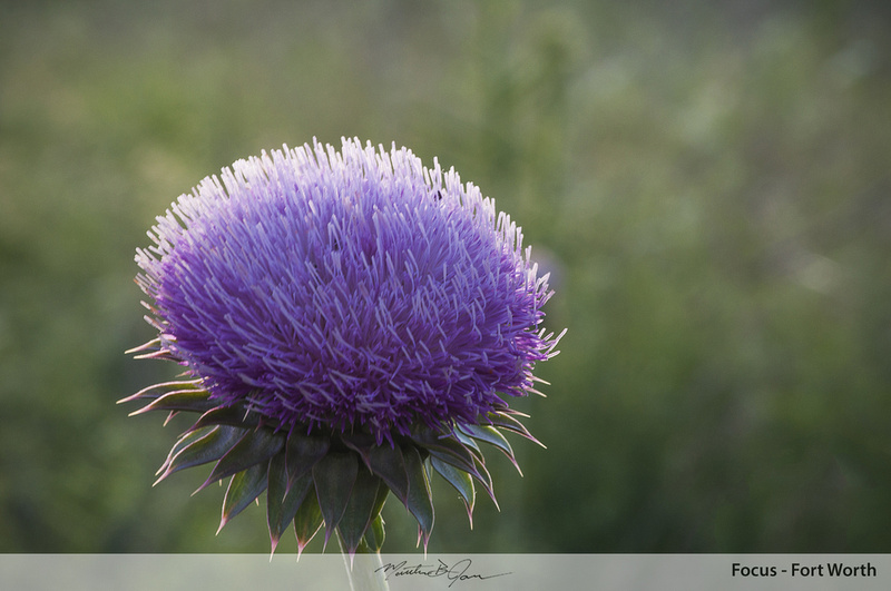 Thistle, Weeds